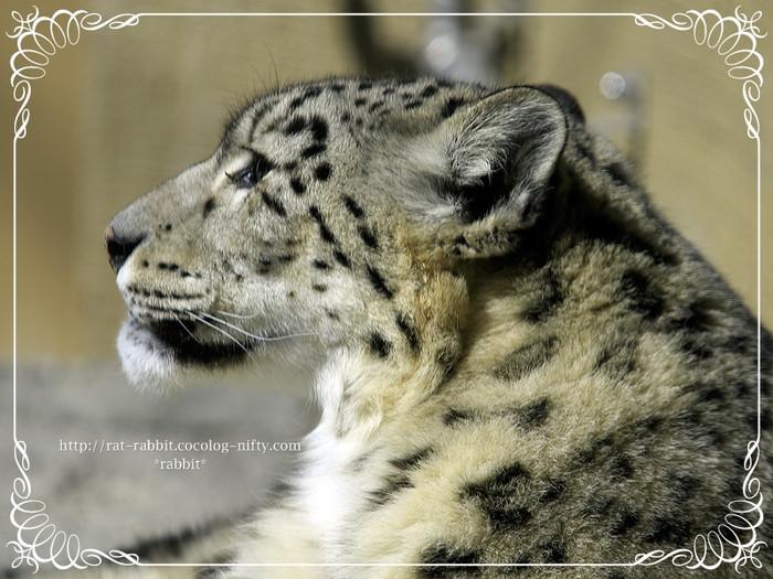 Snowleopard01_2